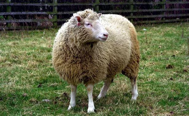 05/07/1996: Nhân bản thành công động vật có vú đầu tiên